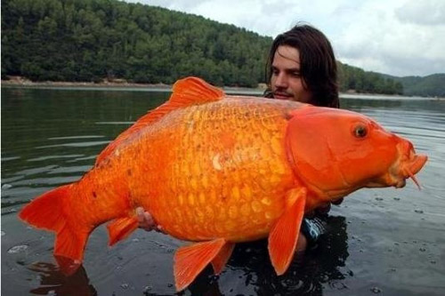 A famous carp fisherman is holding a giant goldfish